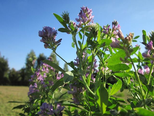 kvetoucí vojtěška Alfalfa.jpg